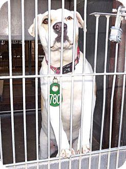 Labrador Retriever/Basset Hound Mix Dog for adoption in San Diego, California - Rose URGENT