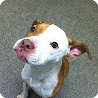 American Staffordshire Terrier/Boston Terrier Mix Dog for adoption in bridgeport, Connecticut - Piglet