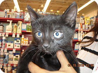 Domestic Shorthair Kitten for adoption in Riverside, Rhode Island - Lucine