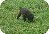 Poodle (Toy or Tea Cup) Dog for adoption in Prole, Iowa - Cinder