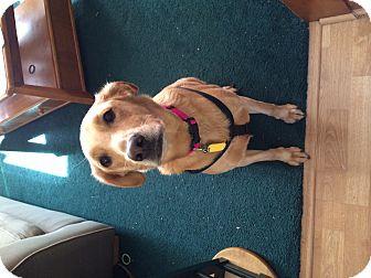 Labrador Retriever Mix Dog for adoption in Minneapolis, Minnesota - Molly
