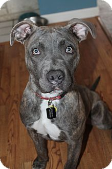 American Pit Bull Terrier Mix Puppy for adoption in Spokane, Washington - Greyson