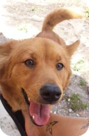 Golden Retriever/Border Collie Mix Dog for adoption in Miami, Florida - Egypt