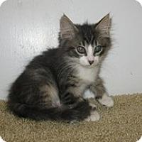 Adopt A Pet :: Triston - Shelton, WA