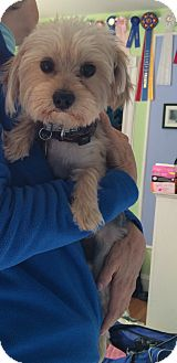 Yorkie, Yorkshire Terrier/Maltese Mix Dog for adoption in Oak Ridge, New Jersey - Clay