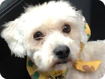 Maltese/Poodle (Miniature) Mix Dog for adoption in Chicago, Illinois - Porter