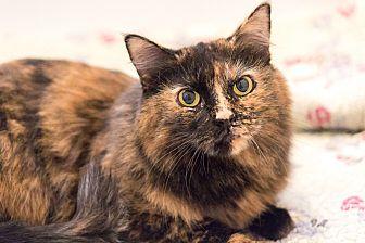 Domestic Longhair Cat for adoption in Chicago, Illinois - Zen