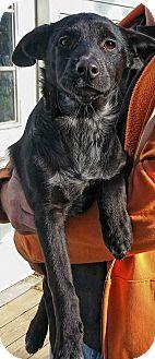 Border Collie/German Shepherd Dog Mix Puppy for adoption in Hammonton, New Jersey - mina