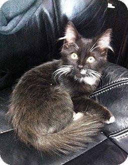 Domestic Mediumhair Kitten for adoption in Lake Elsinore, California - King