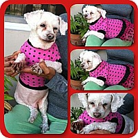 Adopt A Pet :: Fifi - Coral Springs, FL
