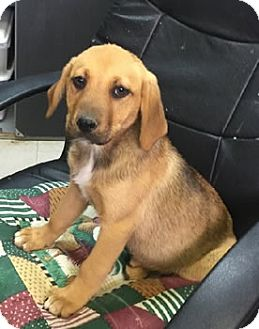 Black Mouth Cur Mix Puppy for adoption in Avon, New York - Fiona