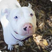 Pit Bull Terrier Dog for adoption in Eugene, Oregon - Sky