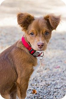Chihuahua/Spaniel (Unknown Type) Mix Puppy for adoption in Lowell, Massachusetts - Bruno