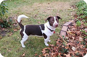 Jack Russell Terrier Mix Dog for adoption in China, Michigan - Levi - PENDING