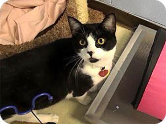 Domestic Shorthair Cat for adoption in Lowell, Massachusetts - Otis