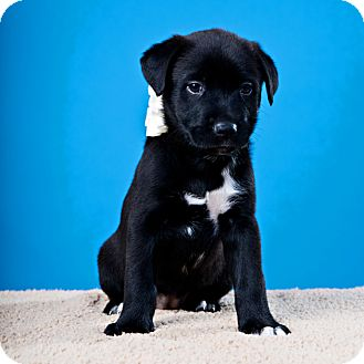 Retriever (Unknown Type)/Beagle Mix Puppy for adoption in Houston, Texas - Donner