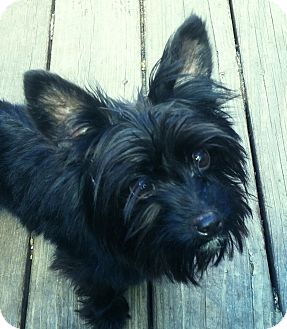Yorkie, Yorkshire Terrier/Papillon Mix Dog for adoption in Columbia Heights, Minnesota - Chip