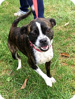 Boston Terrier Mix Dog for adoption in WESTMINSTER, Maryland - Gypsy