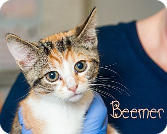 Domestic Shorthair Kitten for adoption in Somerset, Pennsylvania - Beemer