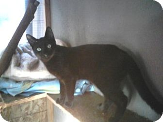 Domestic Shorthair Cat for adoption in Vacaville, California - Lil Bear