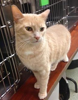Domestic Shorthair/Domestic Shorthair Mix Cat for adoption in Anderson, Indiana - Max