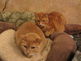 Domestic Shorthair Cat for adoption in Kingston, Washington - Rusty & Dagwood