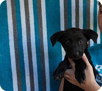 Labrador Retriever/Golden Retriever Mix Puppy for adoption in Oviedo, Florida - Dolly