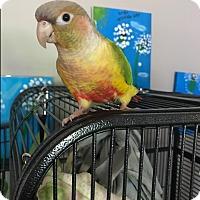 Adopt A Pet :: Tessie - St. Louis, MO