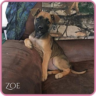 Mixed Breed (Medium) Mix Puppy for adoption in DeForest, Wisconsin - Zoe
