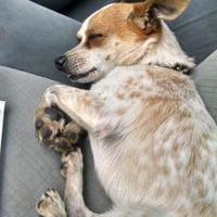 Adopt A Pet :: Simon Katterwall - Warren, MI