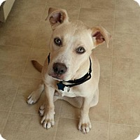 Adopt A Pet :: Chica (ADOPTION PENDING) - Fredericksburg, VA