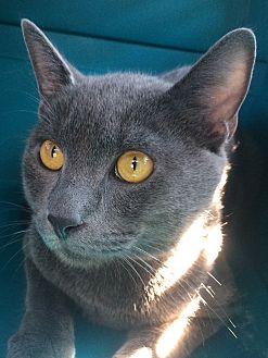 Russian Blue Cat for adoption in East Hartford, Connecticut - Mario in CT