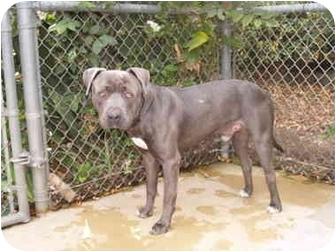 Pit Bull Terrier Mix Dog for adoption in El Cajon, California - Dallas