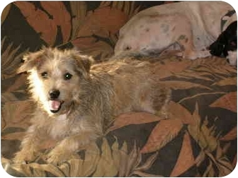 Schnauzer (Miniature) Mix Dog for adoption in Anton, Texas - Tramp