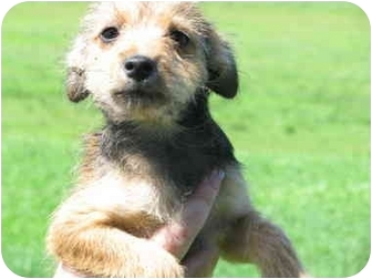 Chihuahua/Terrier (Unknown Type, Small) Mix Puppy for adoption in Atkins, Arkansas - UMBURGER