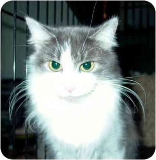 Domestic Longhair Cat for adoption in Cincinnati, Ohio - CUDDLES