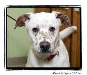 Pointer Mix Dog for adoption in Warren, Pennsylvania - Charles