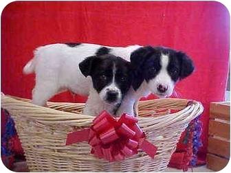 Labrador Retriever/Border Collie Mix Puppy for adoption in Burnsville, North Carolina - Marlon & Chips