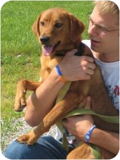 Boxer/Pug Mix Dog for adoption in Florence, Indiana - Dozer
