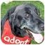 Photo 3 - Labrador Retriever Mix Dog for adoption in Evergreen, Colorado - Clyde