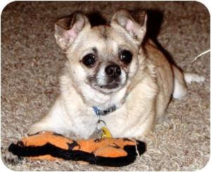 Chihuahua/Pug Mix Dog for adoption in Dallas, Texas - Barron