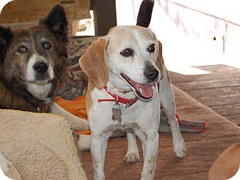Beagle Dog for adoption in Creston, California - Charlie
