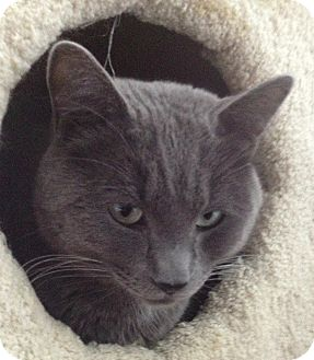 Russian Blue Cat for adoption in Snohomish, Washington - Elvis
