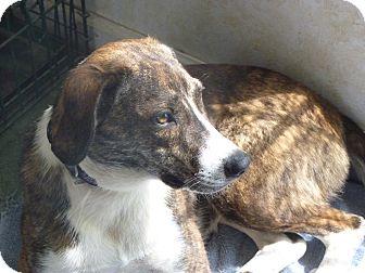 Hound (Unknown Type) Mix Dog for adoption in Glastonbury, Connecticut - WILLOW