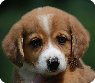 Australian Shepherd/Beagle Mix Puppy for adoption in Providence, Rhode Island - Clementine