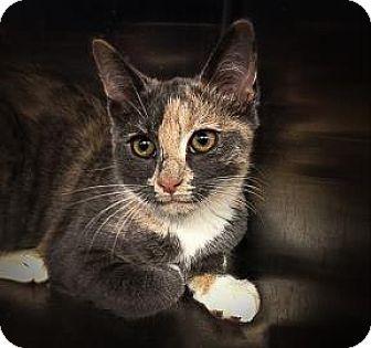 Domestic Shorthair Kitten for adoption in Lowell, Massachusetts - Gracie