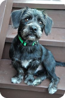 Bedlington Terrier Mix Puppy for adoption in Chicago, Illinois - Cashew