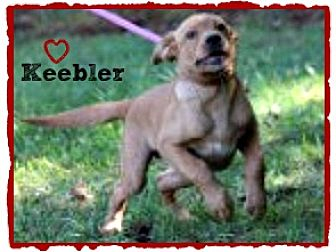 Labrador Retriever/Golden Retriever Mix Puppy for adoption in Chester, Connecticut - Keebler