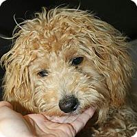 Adopt A Pet :: Gingerbread - Phoenix, AZ