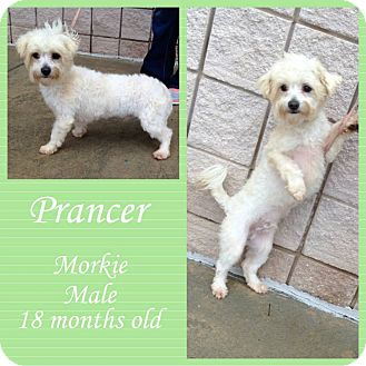Maltese/Yorkie, Yorkshire Terrier Mix Dog for adoption in Newnan, Georgia - Prancer